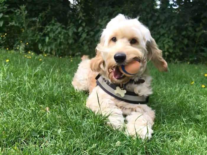 dog walking warrington - puppy dog walking
